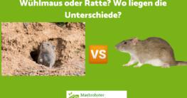 Wühlmaus oder Ratte